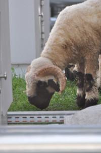 Lebendes Schaf auf dem Dach